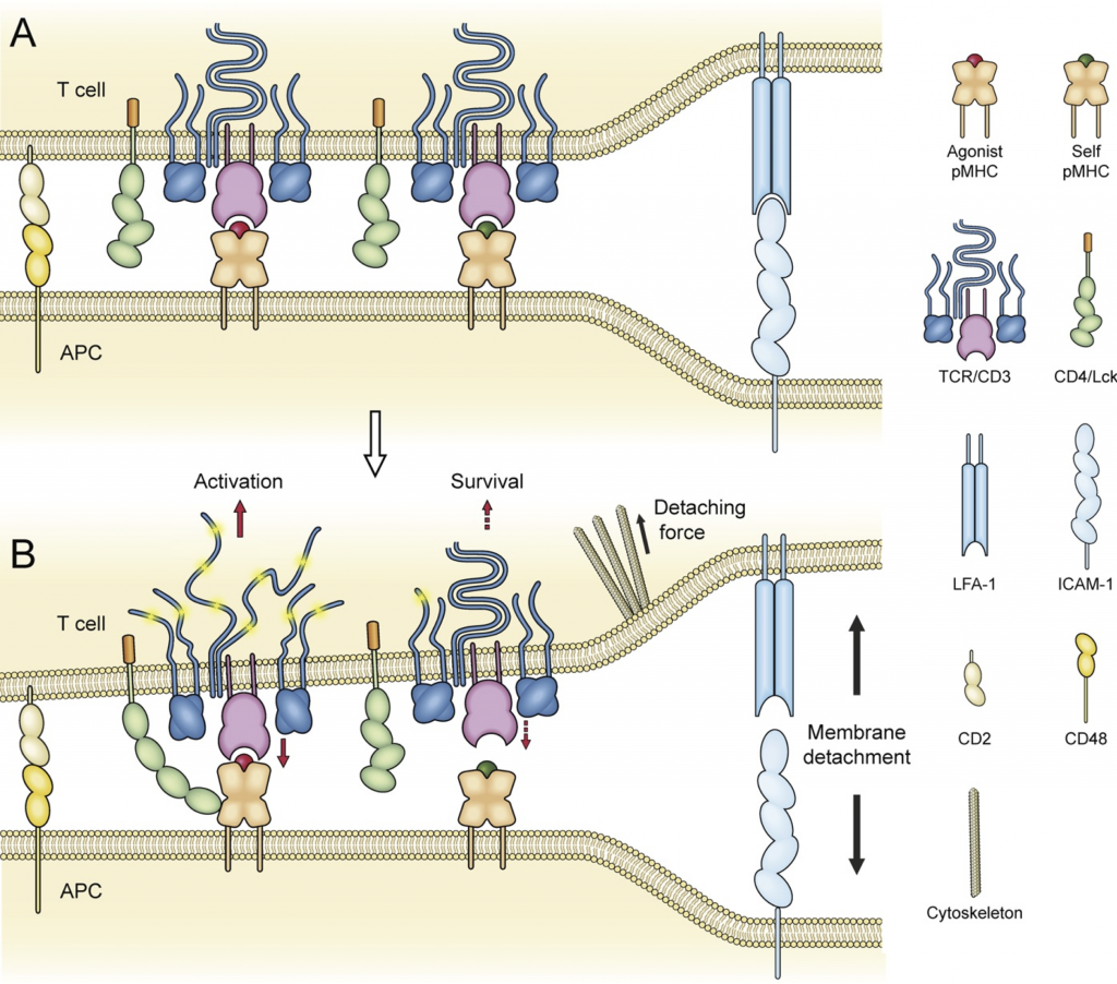 The Receptor Deformation Model of TCR Triggering